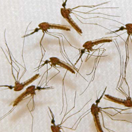 Malaria parasite could help fight cancer, B.C. researchers find